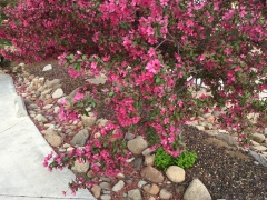 May 5, 2017 Crab apple tree in deep pink bloom Reno Nevada FlowerReport