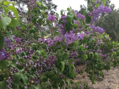 May 7, 2017 Lilac bush blooming in Carson City, behind Nevada State Railroad Museum FlowerReport