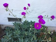 May 15, 2017 Violet blooms, tall stalks, grey leaves: Rock Purslane, or Calandrinia Grandiflora SiliconValley FlowerReport