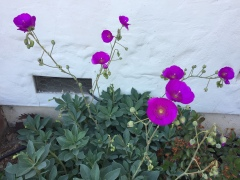 May 15, 2017 Violet blooms, tall stalks, grey leaves: Rock Purslane, or Calandrinia Grandiflora SiliconValley FlowerReport