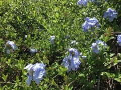 May 17, 2017 Ice blue flowers on plumbago vine - covering fence to ten feet SiliconValley FlowerReport