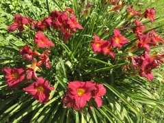 May 22, 2017 Deep red Daylillies with yellow centers (hemerocallis) blooming BellarminePrep SiliconValley FlowerReport