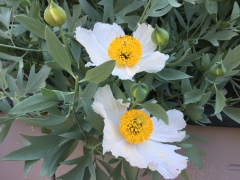 May 23, 2017 Matilija poppy (romneya coulteri) - called fried egg flowers - stems grow 6 feet tall SiliconValley FlowerReport