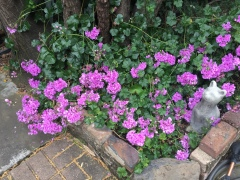 May 28, 2017 Violet geraniums have sprawled over a corner, all from a 4
