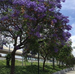 May 29, 2017 Lovely brilliantly purple Jacaranda trees (Bignoniaceae) at Tamien Caltrain station SiliconValley FlowerReport
