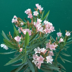 June 1, 2017 Pink and very poisonous oleander blossoms SiliconValley FlowerReport
