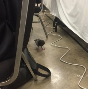 Episcopal General Convention pigeon under table GC79 on 9 July 2018