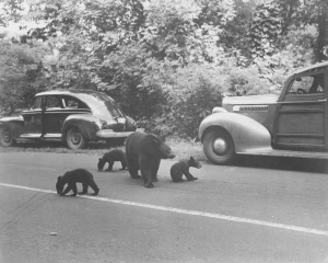 1940 three bear cubs, Smokey Mountains TN