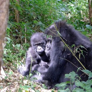 2014 Rwanda mountain gorilla mother and child, by Katy Dickinson