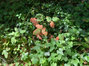 Poison Oak, Santa Cruz county, July 2020