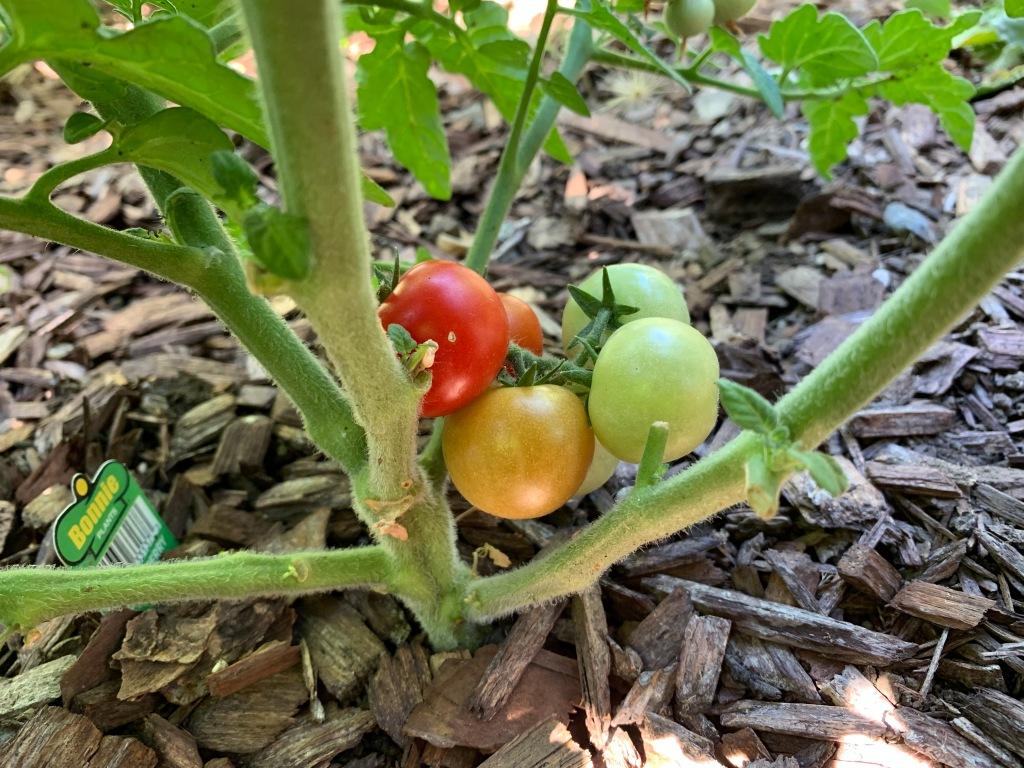 First tomatoes, San Jose CA, June 2021