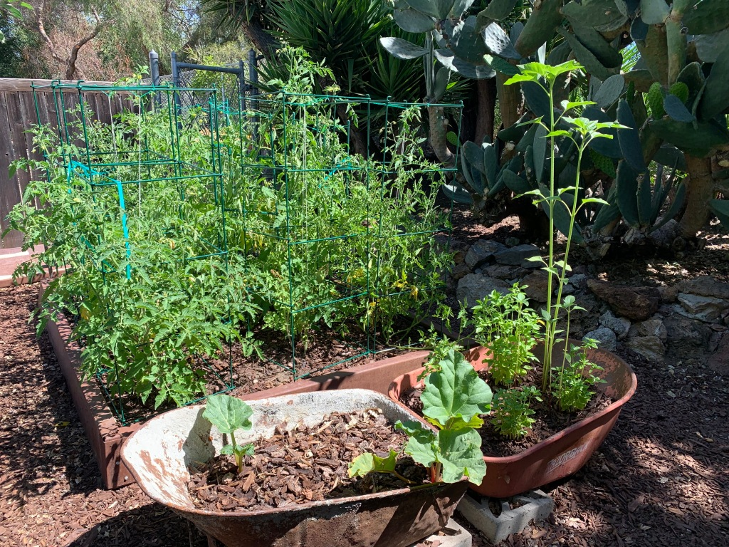 Tomato bed, San Jose CA, June 2021