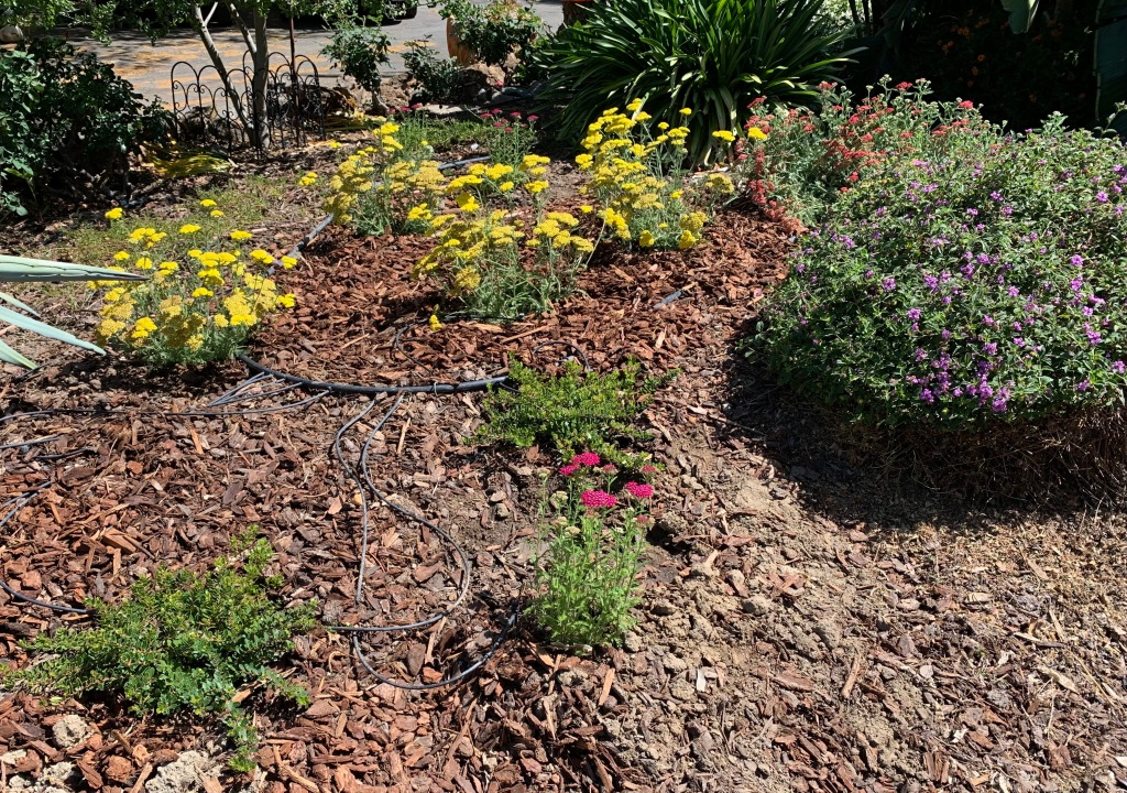 Front garden bed, San Jose CA, June 2021