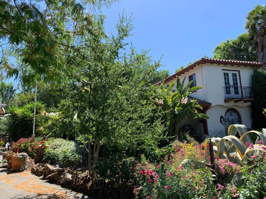 """""""Seham"""" Oak, San Jose CA, June 2021"""